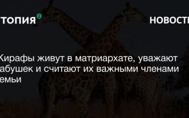 Жирафы живут в матриархате, уважают бабушек и считают их важными членами семьи